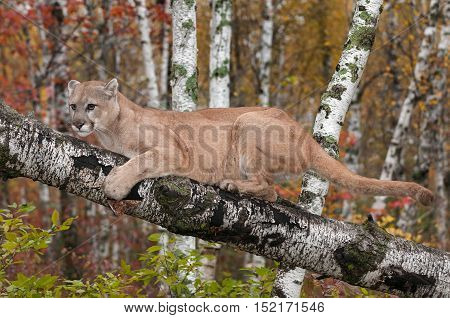 Adult Male Cougar (Puma concolor) Clings to Birch Branch - captive animal