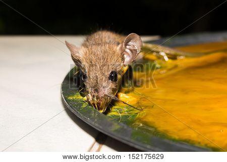 The rat in glue stick on the mousetrap