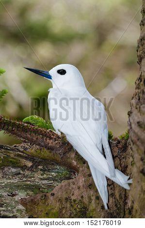 White Tern (Gygis alba) sitting on egg on bare Norfolk Island Pine tree branch on Lord Howe Island, Australia