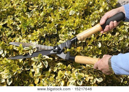 Gardener pruning a bright green variegated bush with shears.
