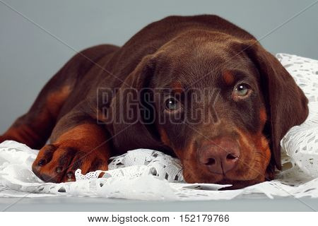 Beautiful purebred brown Doberman puppy very sad put his head and looks at you. The concept of compassion and love for animals