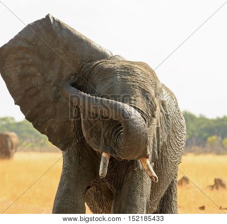 Isolated elephant with its ear flapping and trunk wrapped around
