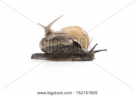 Two snails are climbing together.snails view closeupUbonratchathaniThailand.