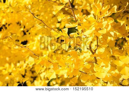 Closeup of yellow Ginkgo Biloba leaves in Autumn of Japan