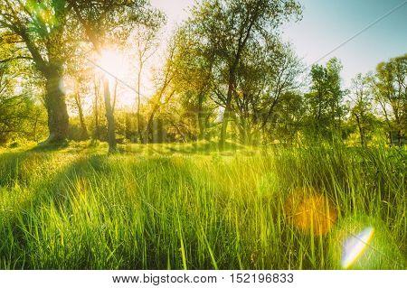 Green juicy grass on summer sunset background. Flecks of sunlight