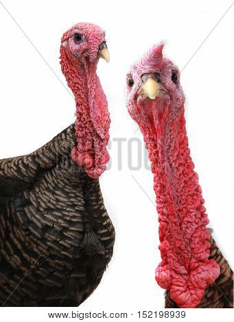 portrait two turkeys isolated on white background, studio shot