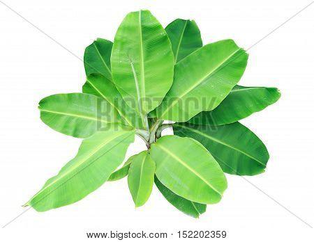 fresh of big banana trees or green banana leaf isolated on white background.