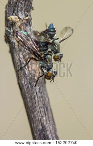 Wild flies mating.(Lispe tentaculata) on nature background
