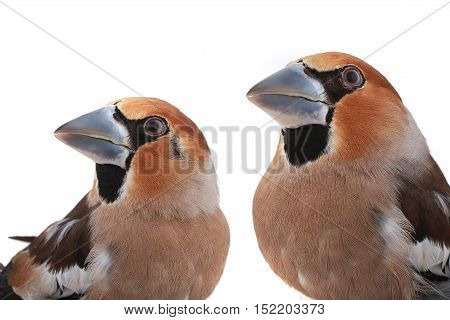 portraits two grosbeaks on a white background