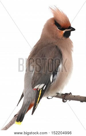 Bohemian Waxwing on a white background. studio
