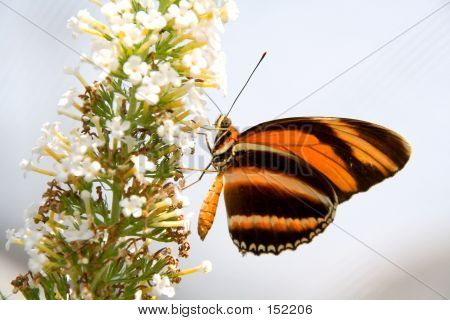Orange And Black Butterfly On White Flower
