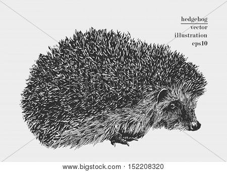 Hand drawn hedgehog illustration. Vector vintage picture