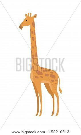 Giraffe Giraffa camelopardalis cartoon animal isolated on white. African even toed ungulate mammal, the tallest living terrestrial animal and the largest ruminant. Sticker for children. Vector