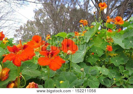 Orange nasturtium flower bed in full bloom in park gully