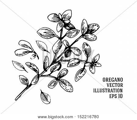 Vector Hand Drawn Oregano Illustration. Vintage Oregano Flower Sketch.