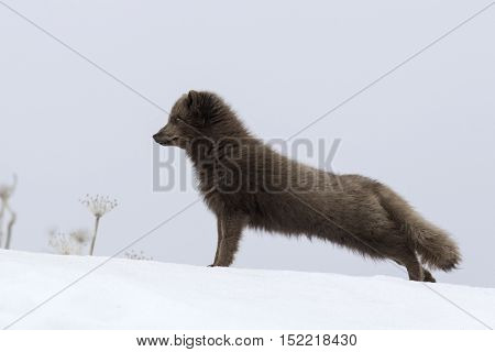 Commanders blue arctic fox that stands on the of a snow-covered hill up and stretches