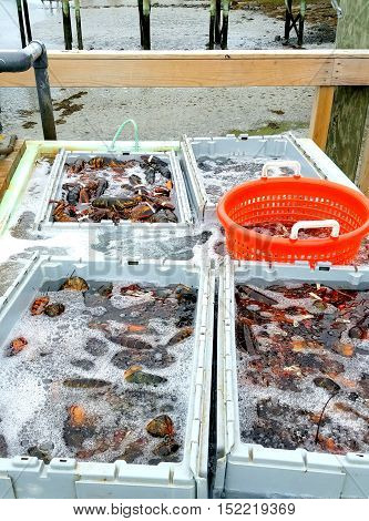Fresh caught Maine lobsters sorted in trays by sizes displayed on pier.