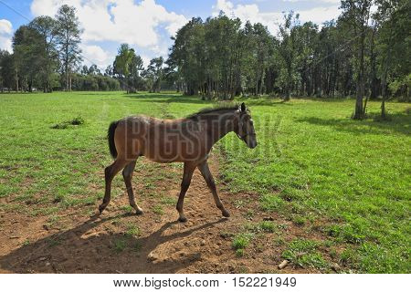 Pension for breeding purebred Arabian horses. Lovely bay colt grazing on a green fenced lawn