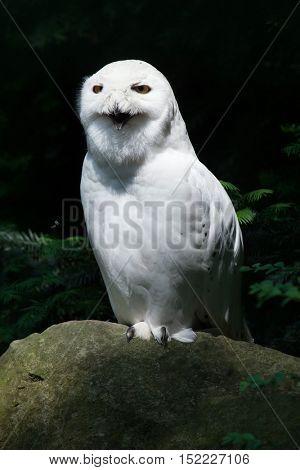 Snowy owl (Bubo scandiacus). Wildlife animal.