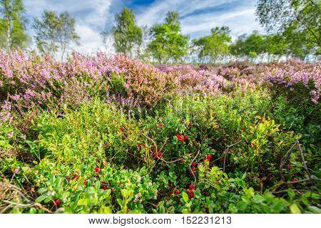 Wild Berries and Blooming Heather Flowers Meadow