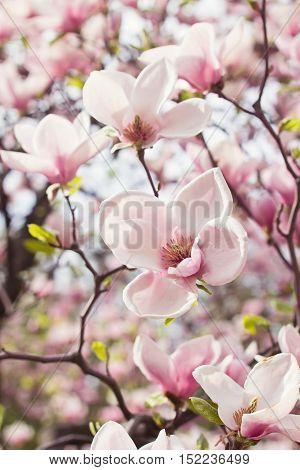 Blossoming magnolia tree in garden in springtime
