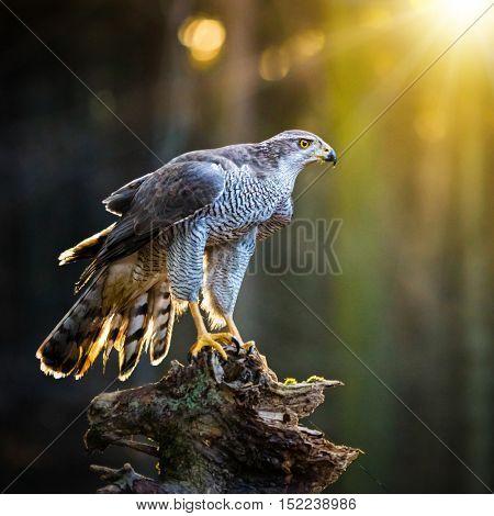 goshawk is sitting on the tree stump, close-up.