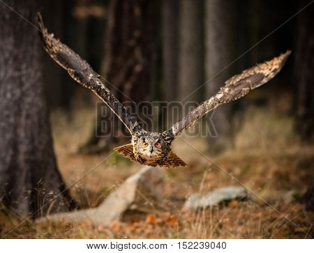 Eagle Owl swoops in low hunting its prey.