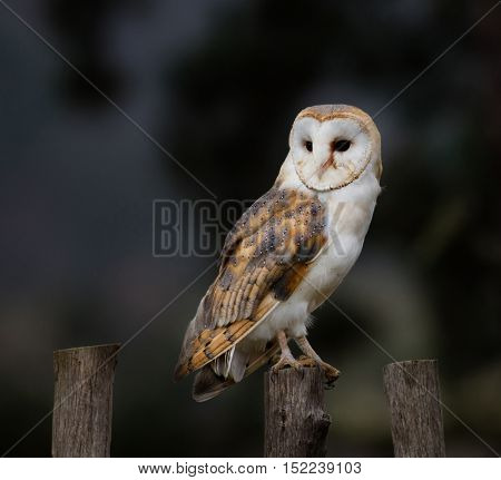 A beautiful barn owl perched on a wooden pale.