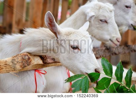 White Goat Eating Green Leaves In A Courtyard Of The Farm