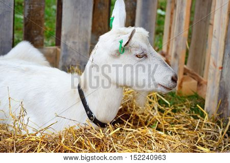 White Hornless Goat Is Near The Hay In A Courtyard Of The Farm