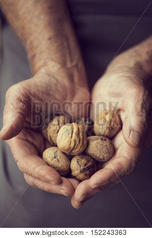 Close up of elderly woman's hands holding a handful of organic walnuts in a nutshells. Selective focus