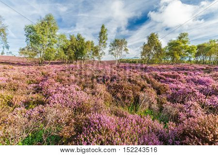 Blooming Heather Flowers Meadow and Autumnal Birch Trees in Background