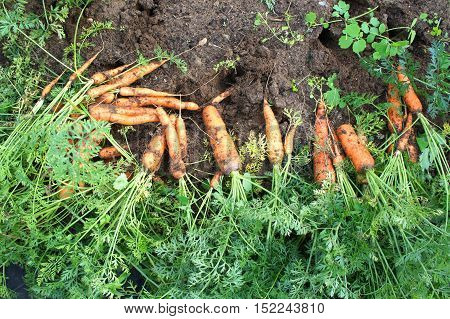 Collected fresh carrots on the ground in the garden, top view