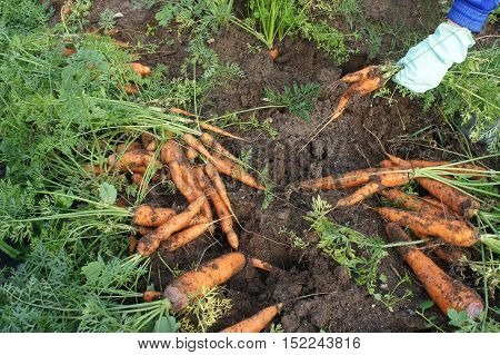 Female hands in gloves pulled carrots. The theme of gardening.