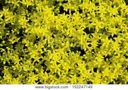 Wild yellow flowers of the field grow sedum, creating a background.