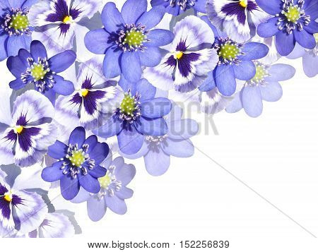 Beautiful spring background of blue violas and liverworts