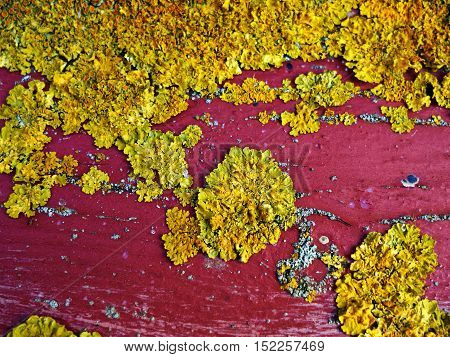 Lichen fungus growing on a red wooden board