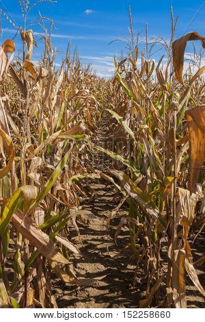 A mud path through an endless cornfield in autumn