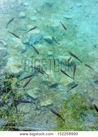 Croatia Plitvice Lakes. Pack of fishes in transparent water.