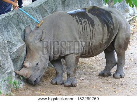 male White Rhino getting a broom massage and cleaning by staff member,  zoo near Songkhla, Thailand