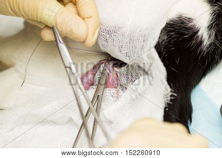 Cat Castration. The eggs, bandage, clamp, thread, gloves, fingers, blood vessels, vas deferens, the needle, the blood