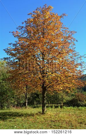 Golden autumn season - tree with colorful leaves