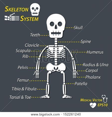 Human skeleton and all name of bone ( skull cervical spine humerus radius ulna carpal phalanx teeth clavicle scapula rib pelvic femur patella tibia fibula tarsal toe )