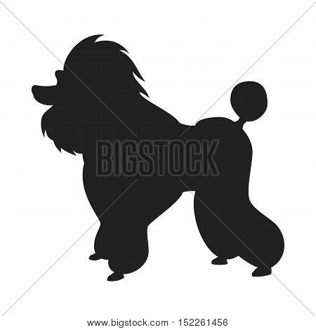 Picture of shadow of Poodle purebred dog with Continental clip standing in side view black vector silhouette with clear borders isolated on the white background