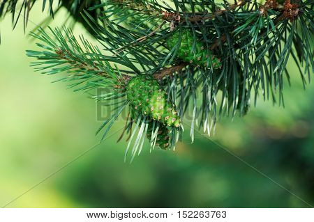 Pitch Pine trees with fresh pine cones and green pine needles
