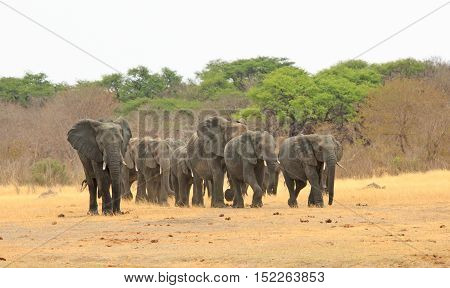 A parade of elephants walking on the Plains in Hwange National Park