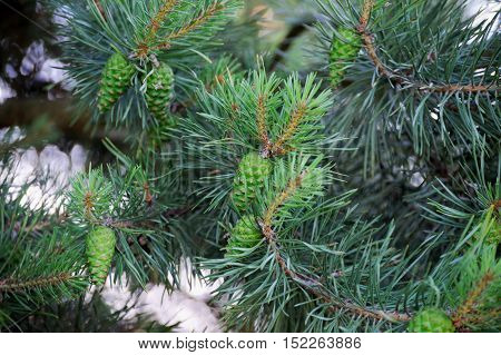 Pine Trees With Fresh  Pine Cones And Green Pine Needles