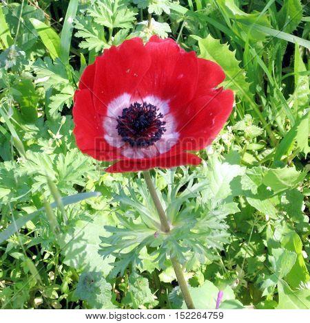 Red Crown Anemone flower in park of Ramat Gan Israel February 17 2007