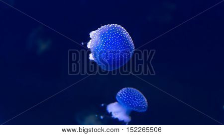 Glowing Blue Jellyfishes Or Jellies Which Are