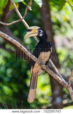 Toucan Ramphastos toco sitting on tree branch in tropical forest or jungle.
